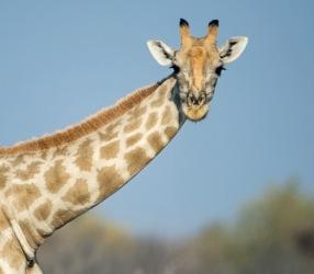 ballroom_ep_1_giraffe